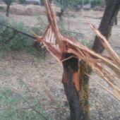 Almendro fulminado por rayo en Tinajas