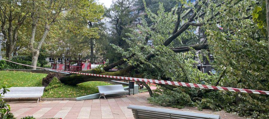 Tilo caído en el Parque San Lázaro