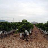 Cultivo de uva de mesa embolsada del Vinalopó.