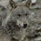 Natural - El lobo