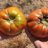 Tomates de Martín Muñoz de la Posadas
