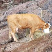 Huellas Cantabria alerta de una vaca atrapada desde hace una semana en una zona rocosa de Laredo