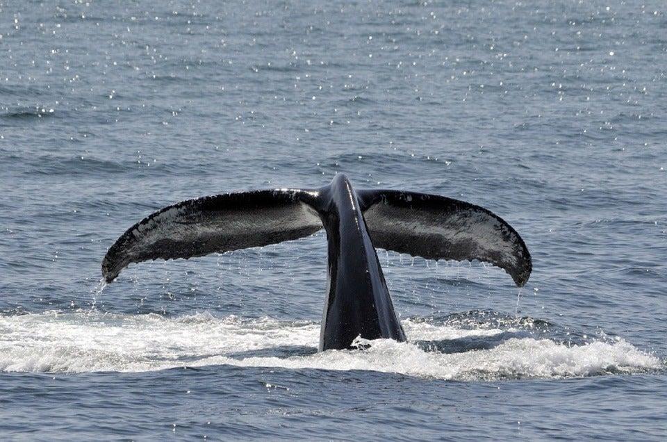 Señales del fin del mundo: Las ballenas vuelven al sur
