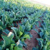 Cultivo de coliflor en Elche.