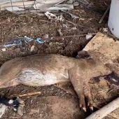 241 animales incautados en una ganadería de Gran Canaria