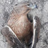 Ecologistas en acción denuncia su muerte y recuerda que la especie está catalogada como vulnerable
