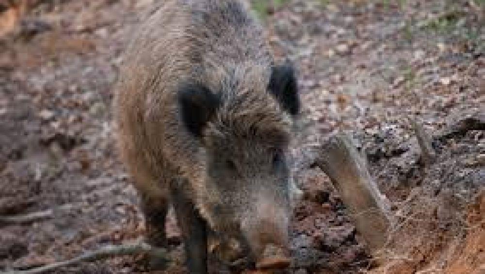 Medio Ambiente convoca as axudas para prever os ataques de fauna silvestre en 2021