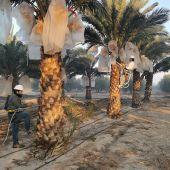 Plantación de palmeras datileras en Elche.