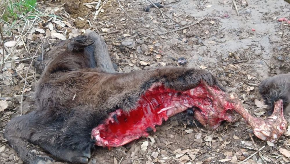 ASAJA PALENCIA denuncia un nuevo ataque de lobos en una ganadería de la provincia