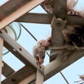 ANSE denuncia ante la Fiscalía la electrocución de 933 aves, la mayor parte de ellas protegidas