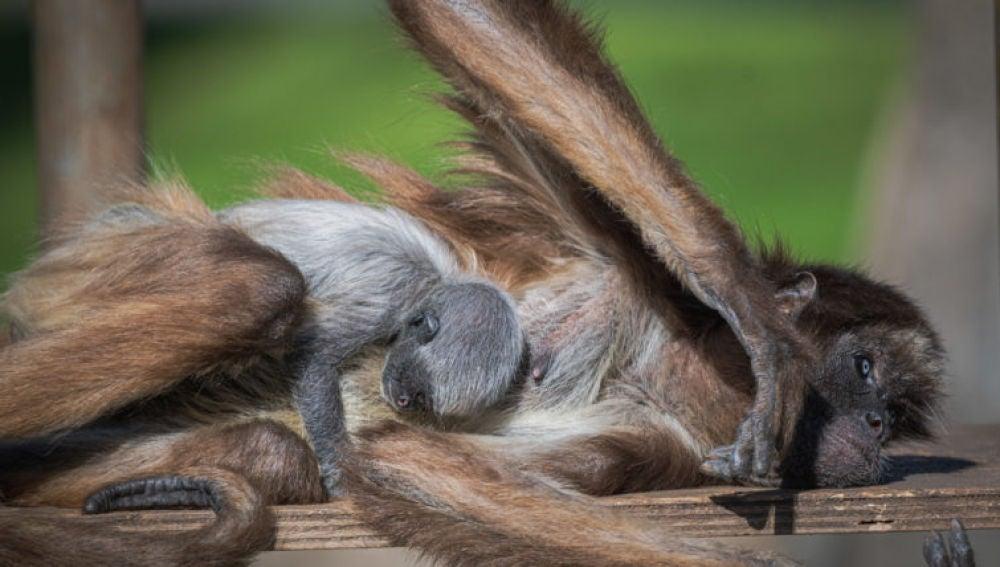 Nace en el Zoo de Barcelona una mona araña, una especie en peligro crítico de extinción