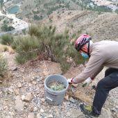 La Concejalía de Medio Ambiente ha informado este martes que el Grupo de Montañismo Oriolano (GOM) ya ha retirado gran cantidad del cactus de Arizona existente en la sierra de Orihuela