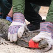 Ejemplar de caimán encontrado por el Seprona en la localidad de Sax.