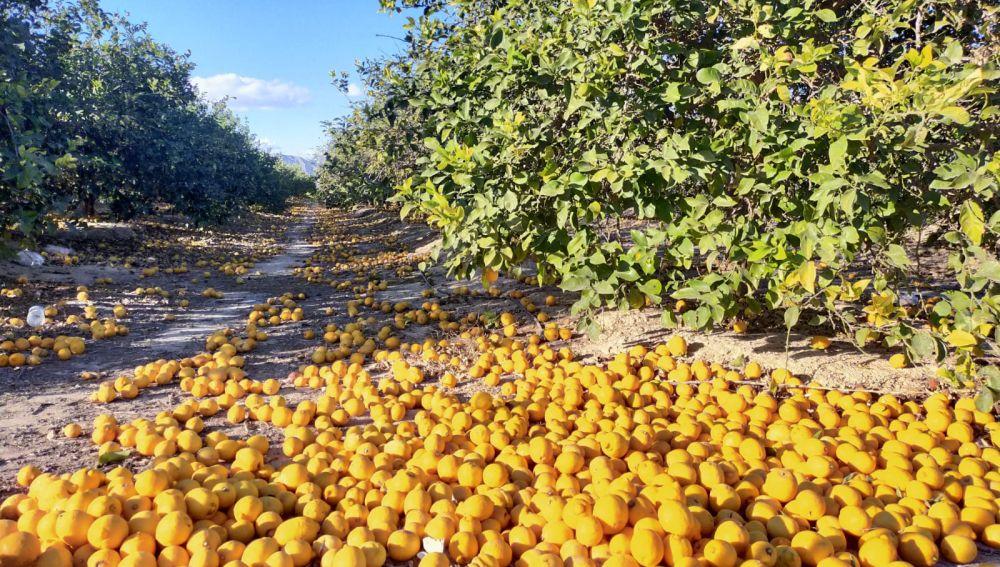 Jóvenes Agricultores ASAJA Alicante alerta de la dramática situación de crisis que están atravesando los agricultores de limón de la provincia de Alicante