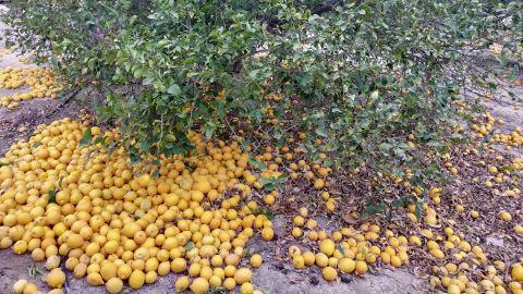 Los productores abandonan el producto en el suelo porque no es rentable