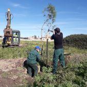Más pinos en los espacios verdes de Chiclana