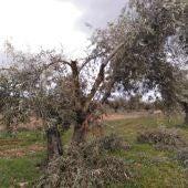 Olivos dañados en la provincia de Toledo