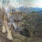 Los ayuntamientos siguen preocupados por el lobo
