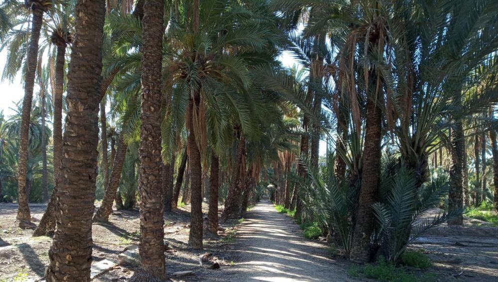Huerto de palmeras en Elche.