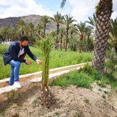 """Estas labores de plantación constituyen uno de los ejes principales de la """"hoja de ruta"""" establecida en el Plan Director y de Gestión del Palmeral para alcanzar la densidad adecuada de ejemplares"""