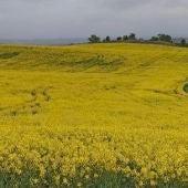 Campo de colza, en Cervera del Llano (Cuenca)