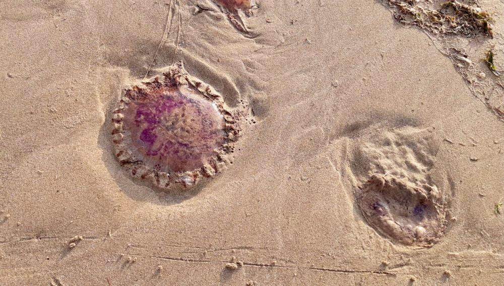 Primer plano de medusas clavel en la arena de las playas alicantinas.