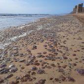 Miles de medusas quedan varadas en la costa de Los Arenales del Sol.