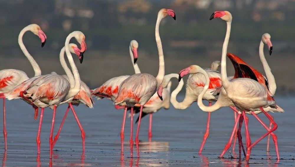 Se hablará hoy, a las 19:00 horas, de la colonia de flamencos en la Laguna de Torrevieja y su seguimiento fotográfico