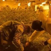 Más de 2.000 plantas de marihuana desmanteladas en Málaga