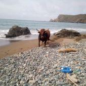 El helicóptero del SEPA recoge a un toro que cayó por acantilados cercanos a Cabo Peñas