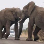 Dos elefantes peleándose
