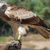 Águila culebrera Marbella