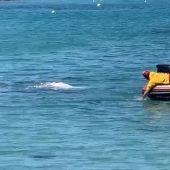 Avistan una ballena gris de cinco toneladas en Santa Ponça