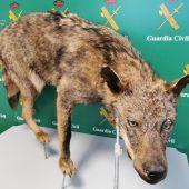 La Guardia Civil investiga a tres personas por varios delitos de caza sobre el lobo ibérico