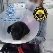 Detenido en Elche un hombre por propinar una paliza a una perra de solo tres meses de edad y provocarle rotura de huesos craneales y pérdida de visión completa.