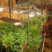 Plantación de marihuana de Tomelloso