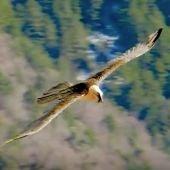 La población de quebrantahuesos en los Picos de Europa alcanza la treintena de ejemplares