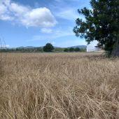 Incrementa en un 140% la siembra de trigo 'xeixa' con 48 hectáreas cultivadas en Ibiza