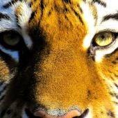 Durante la Cumbre del Tigre que tuvo lugar en Rusia en el año 2010, Año del Tigre según la cultura china esta iniciativa surgió del hasta entonces Primer Ministro de Rusia, hoy en día Presidente del país Vladimir Putin