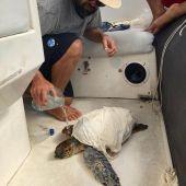 Rescate de una tortuga atrapada en plástico en Ibiza