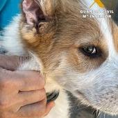 Investigado un vecino de Caudete por mutilar a varios cachorros de perro