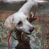 Este es Boogie, el perro que perdió a sus dueños tras la erupción en La Palma y los sigue buscando