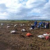 O Inorde inicia a recollida dos ensaios de campo da pataca na finca Antela