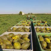 Imagen recogida melón Castilla-La Mancha