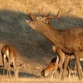 El Parque Nacional de Monfragüe vive un otoño más la berrea que indica la época de celo de los ciervos