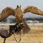 Uno de los halcones del servicio de cetrería