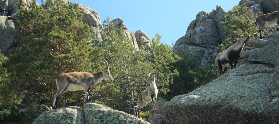 Una manada de cabras montesas pacen durante un caluroso día en la Pedriza