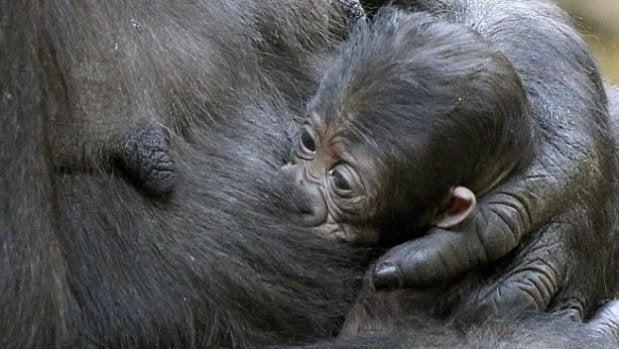 La triste historia de la bebé gorila Manolita