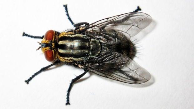 Qué sabemos de... las moscas