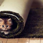 El gatito enrollado en la alfombra